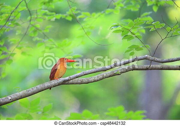 Ruddy kingfisher - csp48442132