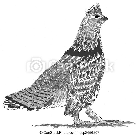Ruffed Grouse - csp2656207