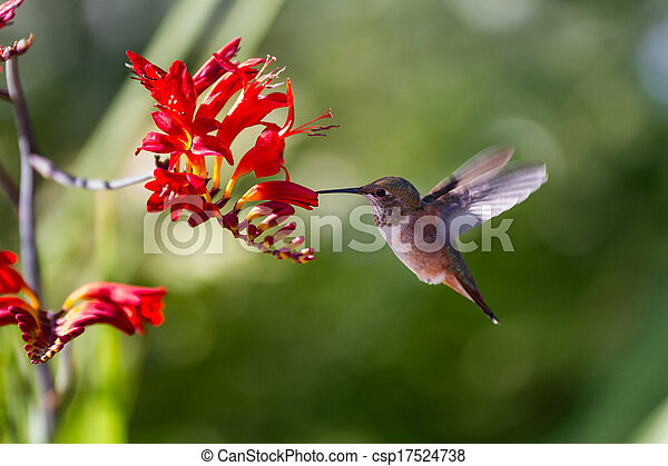 rufous, colibrí - csp17524738