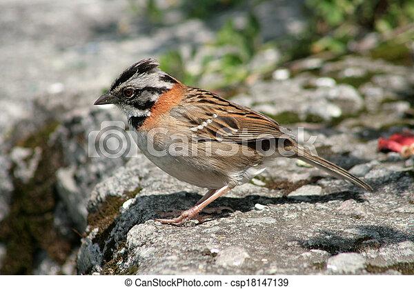 Rufous Collared Sparrow on a Ledge - csp18147139