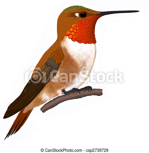 Rufous hummingbird drawing - photo#51