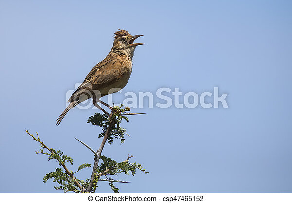 Rufous-naped lark sit on branch and call to claim his territory - csp47465152