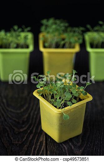 Rukkola growing in a pot - csp49573851