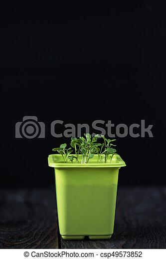 Rukkola growing in a pot - csp49573852