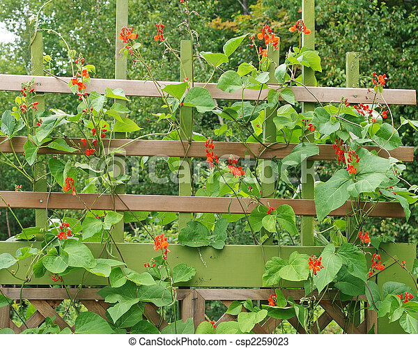 Runner beans growing in garden on trellis Organic scarlet stock