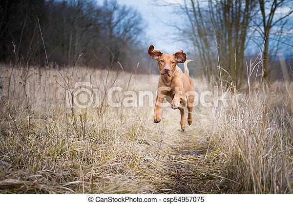 Running funny hunter dog in winter field - csp54957075