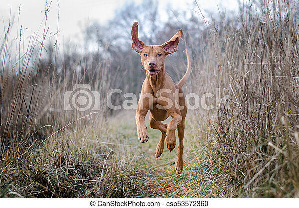 Running funny hunter vizsla dog in autumn - csp53572360