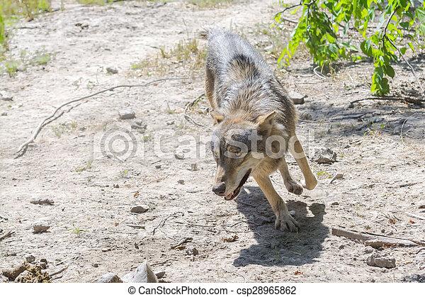 Running gray wolf (Canis lupus) - csp28965862