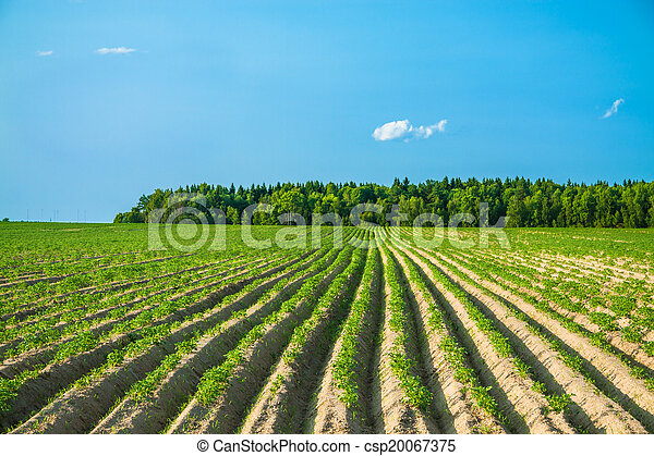 rural landscape with a potato field - csp20067375