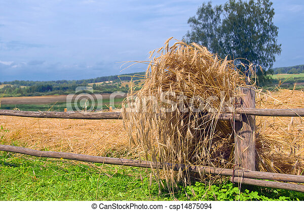Rural landscape with golden ears - csp14875094