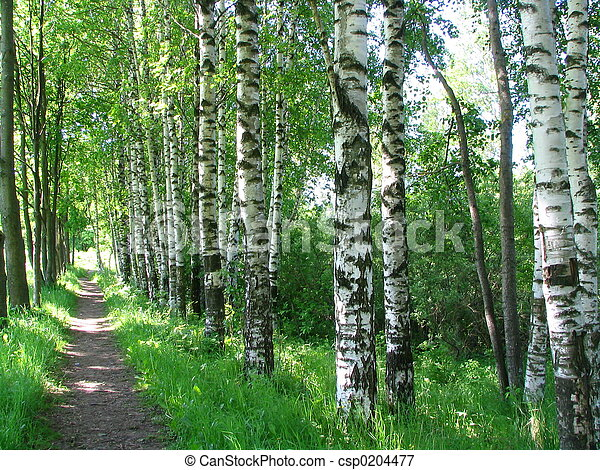 Russian birches  - csp0204477