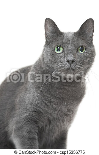 Beautiful Russian Blue Cat Sitting On Isolated White Background Canstock