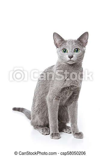 Russian Blue Cat With Green Eyes Isolated On White Canstock