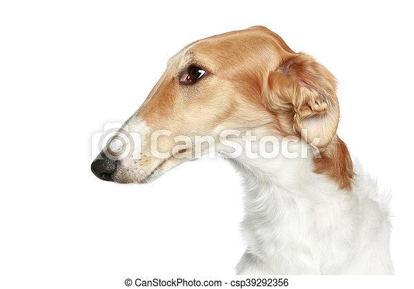 Russian Borzoi - Wolfhound dog. Head profile close-up portrait - csp39292356