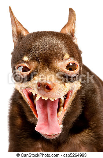 Russian toy-terrier. Ridiculous dog - csp5264993