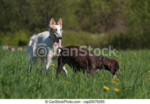 Russian wolfhound and German shorthaired pointer - csp20076355