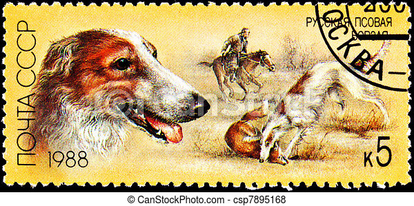 Russian Wolfhound Borzoi Fox Hunting Dog - csp7895168