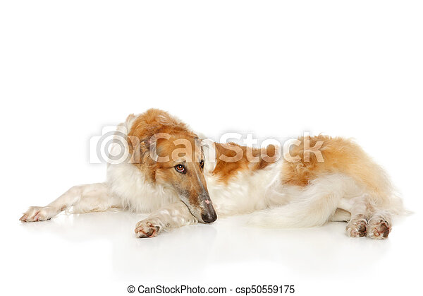 Russian wolfhound dog lying on white - csp50559175