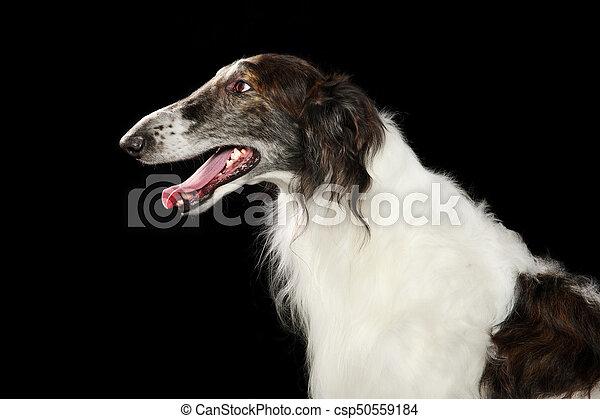 Russian wolfhound dog - csp50559184