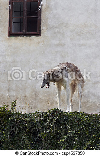 Russian wolfhound - csp4537850