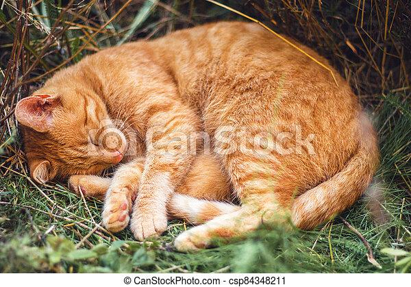 ryšavý vzrušit se, ona, kočka, skrytý, sloj, den, spací, květ, léto, -, zastínit - csp84348211