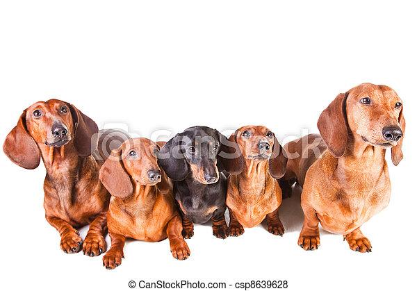 séance, isolé, chiens, cinq, blanc, teckel - csp8639628