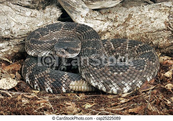 Südliche pazifische Klapperschlange - csp25225089
