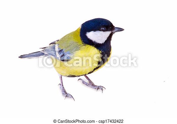 sýkorka, běloba ptáci, osamocený - csp17432422