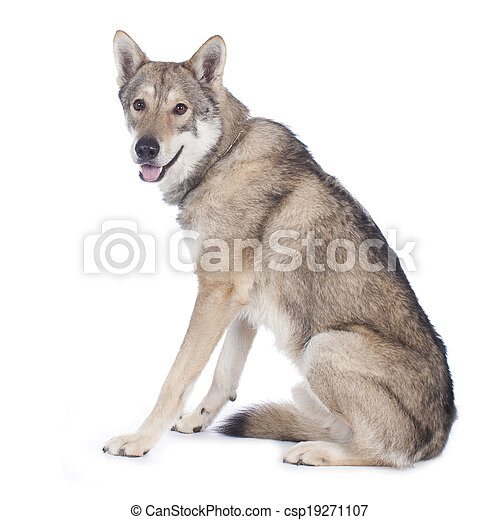 Saarloos wolfhound isolated - csp19271107