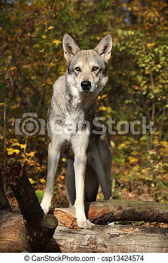 Saarloos Wolfhound - csp13424574