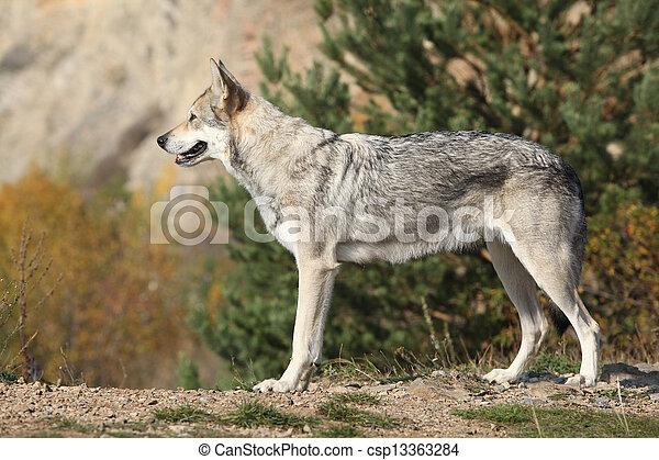 Saarloos Wolfhound - csp13363284