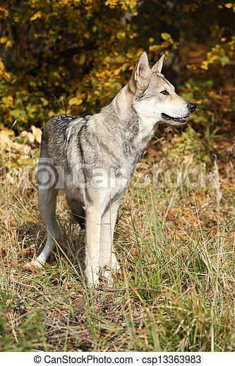 Saarloos Wolfhound - csp13363983