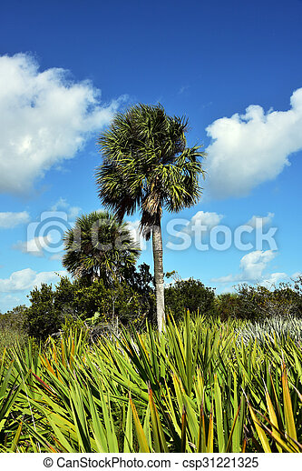 sabal palm tree healthy sabal palm tree in south florida where it