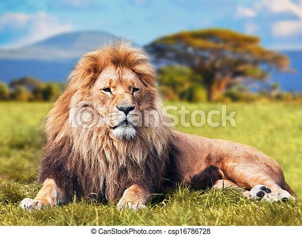Gran león tendido en la hierba de Savannah - csp16786728