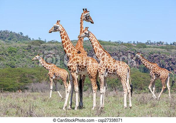 sabana, jirafas, manada - csp27338071