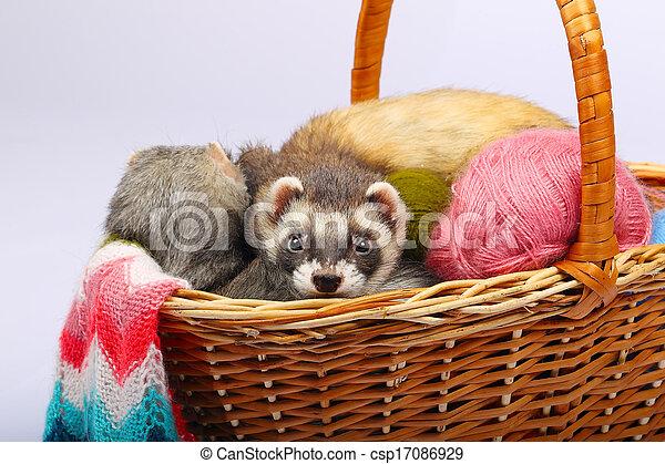 Sable ferret in basket - csp17086929