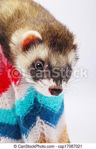Sable ferret in basket - csp17087021
