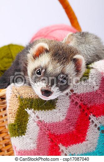 Sable ferret in basket - csp17087040