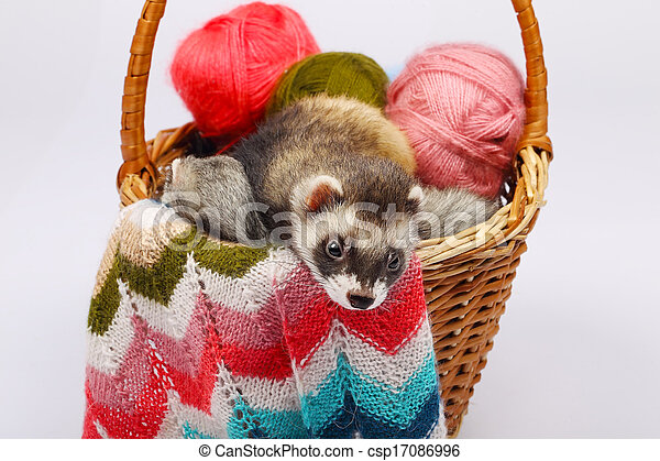 Sable ferret in basket - csp17086996