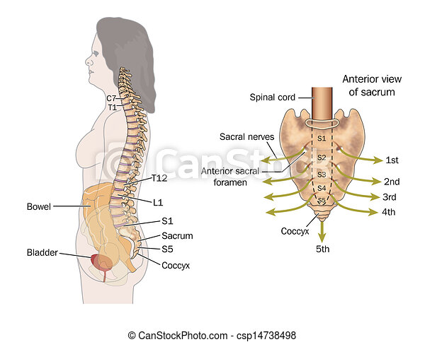 Sacral nerves. Side view of the bowel, spinal column and sacral ...