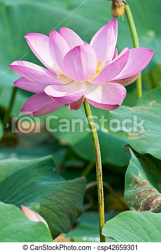 Sacred lotus flower living fossil close up komarov lotus relict sacred lotus flower living fossil close up csp42659301 mightylinksfo