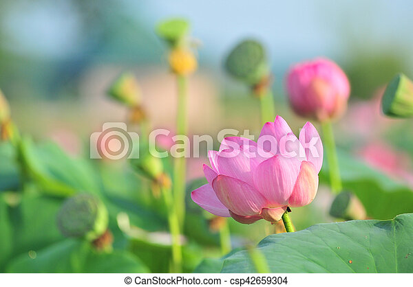 Sacred Lotus Flower Living Fossil Close Up Komarov Lotus Relict