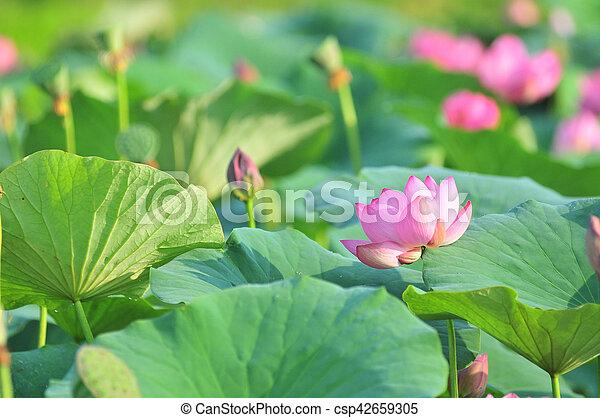 Sacred lotus flower living fossil komarov lotus relict tertiary sacred lotus flower living fossil csp42659305 mightylinksfo
