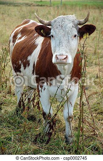 sad looking cow - csp0002745