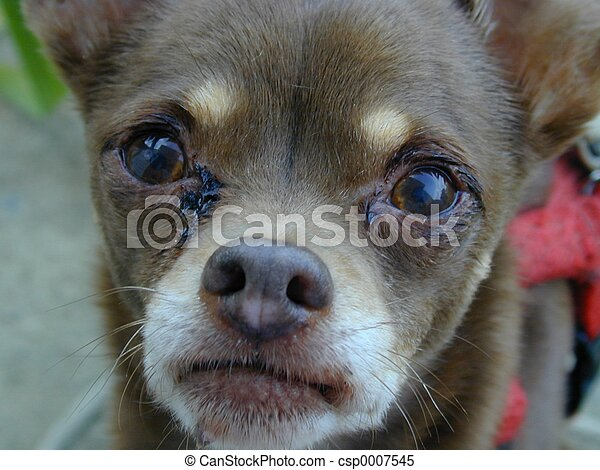 Sad Puppy Crying Chihuahua
