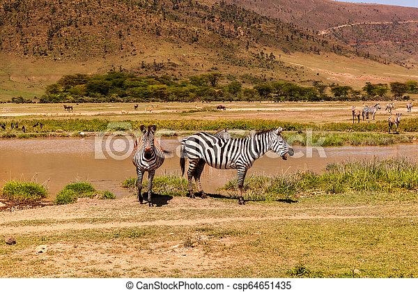 safari., national, park., zèbres, africaine - csp64651435
