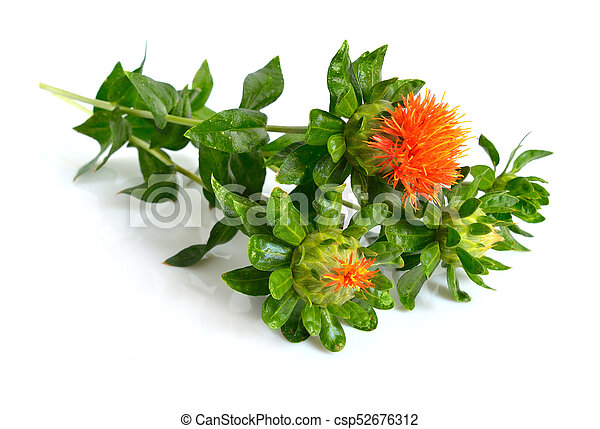 safflower plant isolated on white background