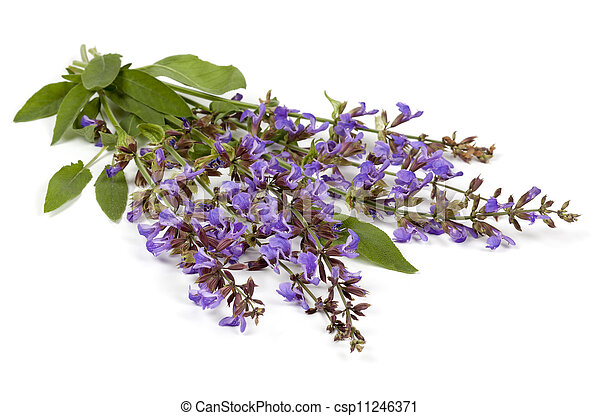 Sage Flowers Isolated - csp11246371