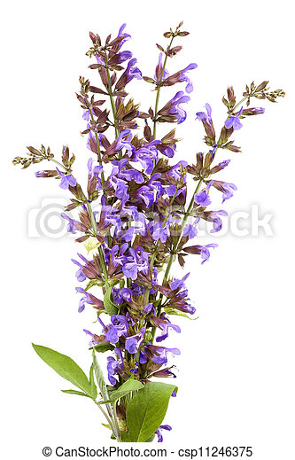 Sage Flowers Isolated - csp11246375