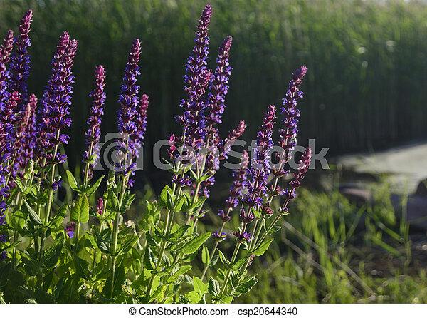 Sage in evening sunlight - csp20644340